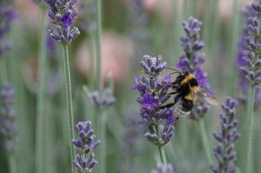 abeille dans champ de lavande